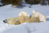 Sleeping Mother Bear Photographic Print by Howard Ruby