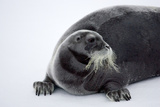 Bearded Seal Photographic Print by Howard Ruby