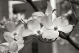 Dogwood Blossoms II BW Photographic Print by Erin Berzel