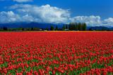 Clouds and Tulips Fotografie-Druck von Howard Ruby