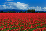 Clouds and Tulips Photographic Print by Howard Ruby