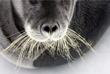 Bearded Seal Whiskers Photographic Print by Howard Ruby