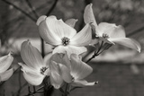 Dogwood Blossoms I BW Photographic Print by Erin Berzel
