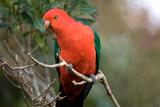Australian King Parrot Photographie par Howard Ruby