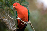 Australian King Parrot Photographic Print by Howard Ruby