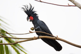 Palm Cockatoo on a Branch Photographic Print by Howard Ruby