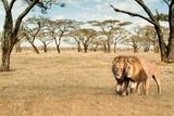 Bonding Lions Walk Fotodruck von Howard Ruby