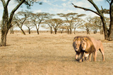 Bonding Lions Walk Photographic Print by Howard Ruby