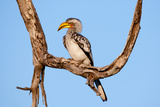 Yellow Hornbill Papier Photo par Howard Ruby