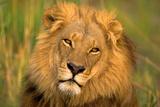 Løvernes konge Fotografisk tryk af Howard Ruby