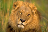 rey león, El Lámina fotográfica por Howard Ruby