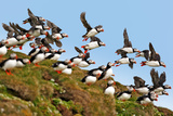Puffin Fishing Party Departs for Sea Photographic Print by Howard Ruby