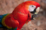 A Scarlet Macaw Eating Photographic Print by Howard Ruby
