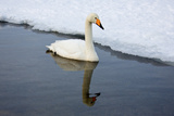 Swan and Ice Photographic Print by Howard Ruby