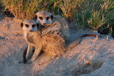 Meerkat Love Photographic Print by Howard Ruby