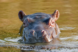 Watching Hippo Photographic Print by Howard Ruby