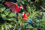 Red-And-Green Macaws in a Tree Photographic Print by Howard Ruby