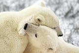 Polar Bear Fight Photographic Print by Howard Ruby