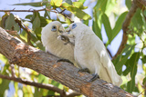 Little Corella Photographic Print by Howard Ruby