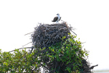 Osprey on Top of their Nest Papier Photo par Howard Ruby