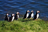 Line of Puffin Photographic Print by Howard Ruby