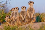 Meerkat Family II Photographic Print by Howard Ruby