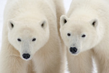 A Pair of Polar Bears Photographic Print by Howard Ruby