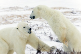 Pouncing Polar Bears Photographic Print by Howard Ruby