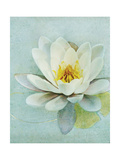 Pond Lily Giclee Print by Amy Melious