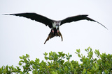 Frigate Bird Papier Photo par Howard Ruby