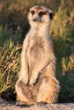 Meerkat Gaze Fotografisk tryk af Howard Ruby