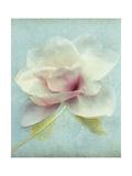 Magnolie Kunstdrucke von Amy Melious