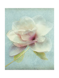 Magnolia Prints by Amy Melious