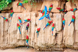 Red-And-Green Macaws at Clay-Lick Photographic Print by Howard Ruby