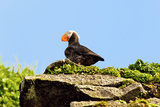 Puffin on a Hill Photographic Print by Howard Ruby