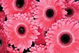 Pink Gerbera Daisies 3 Photographic Print by Erin Berzel