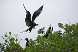 Frigate Birds Photographic Print by Howard Ruby