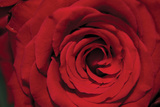 Red Rose Detail Photographic Print by Erin Berzel