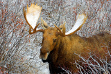 Snow Moose Photographic Print by Howard Ruby