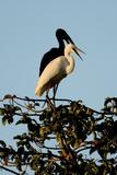Black and White Birds Reprodukcja zdjęcia autor Howard Ruby