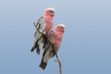 Two Galah Photographic Print by Howard Ruby