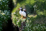 Puffin Couple Guarding their Nest Photographic Print by Howard Ruby