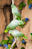 Mealy Parrots at Clay-Lick Photographic Print by Howard Ruby
