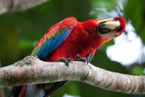 Side Glance Scarlet Macaw Photographic Print by Howard Ruby