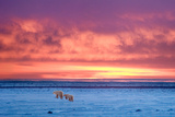 Polar Bear Sunset Photographic Print by Howard Ruby