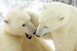 Polar Bear Battle I Photographic Print by Howard Ruby