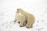 Polar Bear Moment Photographic Print by Howard Ruby