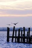 Pelican and Friend Reproduction photographique par Alan Hausenflock
