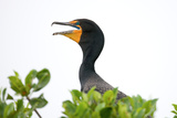 Double-Crested Cormorant, Yucatan, Mexico Photographie par Howard Ruby
