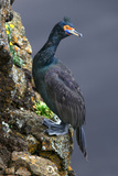 Cormorant on a Rock Photographic Print by Howard Ruby